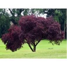 Червена Слива / Prunus Nigra