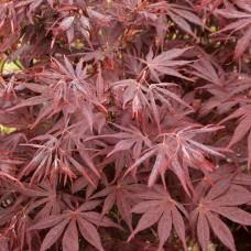 Японски Клен / Аcer palmatum Аtropurpureum
