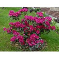 Рододендрон/Rhododendron