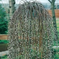 Плачеща върба-присадена / Salix carpea