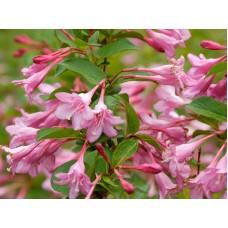 Вайгела Пинк Принсес / Weigela Florida Pink Princess