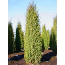 Юниперус Комунис / Juniperus Communis Hibernica