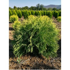 Западна туя Голден Глоб (thuja occidentalis Golden Globe )